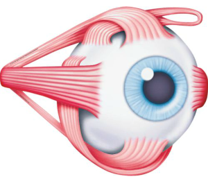 Four Recti muscles attach at the top, bottom, left and right of each eye while two Oblique muscles wrap around each eye.