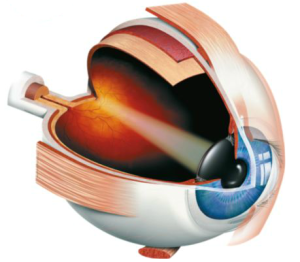 Light enters through the cornea, the iris lets a certain amount through the pupil, the lens focuses the light onto the retina in the back of the eye where a signal gets sent through the optic nerve to the visual cortex in the brain.