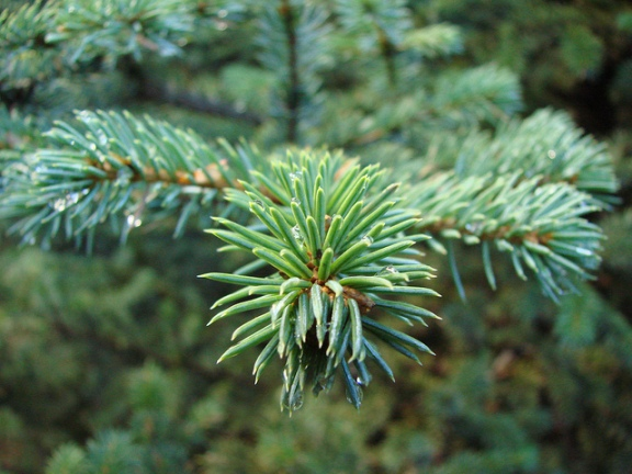 Farsighted? Think up-close thoughts by visualizing the fine detail of each individual pine needle.